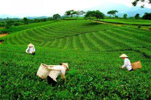 Trà ngon được trồng ở vùng đất cao