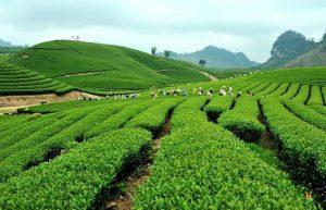 Cơ hội để ngành Trà Việt Nam phát triển vươn tầm thế giới