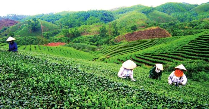 Lựa chọn chuẩn bị làm đất trồng chè