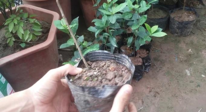 Phương pháp chọn giống cây chè