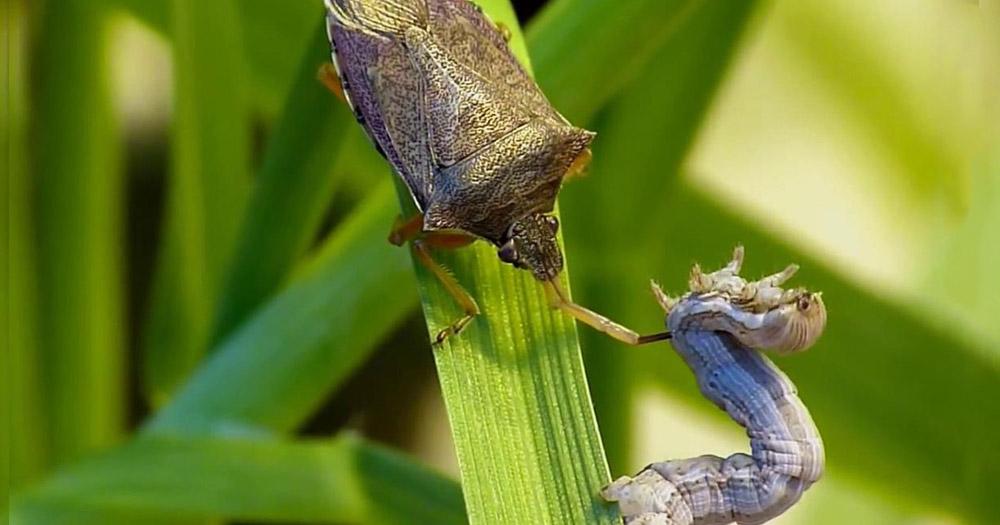 sâu bệnh hại cây trồng Bọ xít là sâu bệnh ảnh hưởng tới cây trồng khá lớn