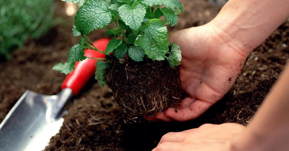 sâu bệnh hại cây trồng Sâu đất là một loại bệnh hại thường gặp ở cây trồng
