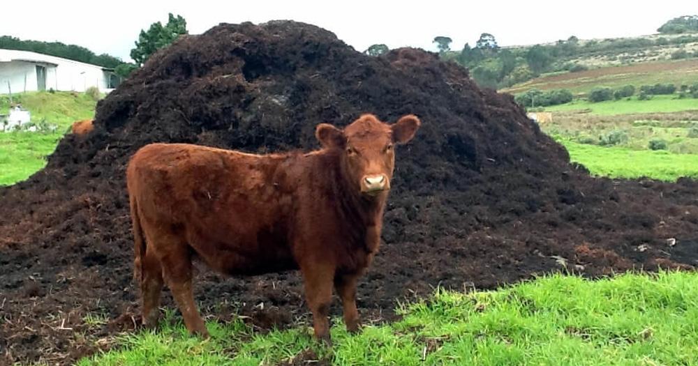 Phân chuồng bò